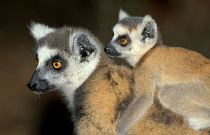 Ring-tailed lemur with young. (Lemur catta) Madagascar Berenty private reserve  -  Pete Oxford