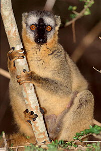 Red fronted lemur. Female. Madagascar, Kirindy forest. - Pete Oxford