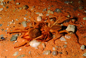 Camel spiders (Solifugae) mating at night. Kruger GP, South Africa  -  Tony Heald
