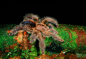 Tarantula (Theraphosidae) on buttress root of fig tree (Ficus sp.). Yasuni NP, Ecuador, Central America  -  Pete Oxford