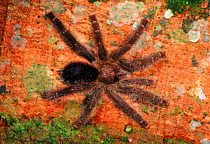 Tarantula (Theraphosidae) on buttress root of fig tree. Yasuni NP, Ecuador, Central America  -  Pete Oxford