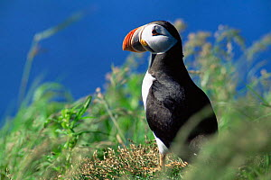 Puffin (Fractercula arctica) St Lawrence, Canada.  -  Louis Gagnon