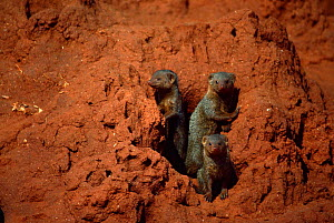 Dwarf mongoose {Helogale parvula} group at burrow in termite mound, Tsavo East NP, Kenya. - Jabruson
