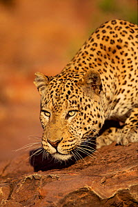Leopard head portrait, Namibia. Captive animal  -  Hermann Brehm