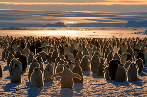 Emperor penguin colony chicks and adults, Australian Antarctic territory  -  Pete Oxford