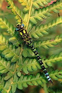 Southern hawker dragonfly male on fern, England, UK - GRAHAM HATHERLEY
