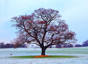 English oak tree (Quercus robur) in field (January) Derbyshire, UK. Seasons sequence, winter  -  Chris O'Reilly