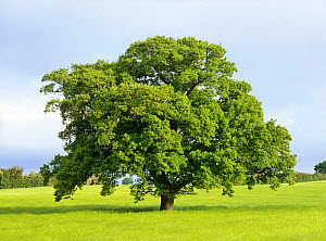 Oak tree in field (Quercus robur) Derbyshire, UK. Sequence, May  -  Chris O'Reilly