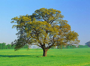 Oak tree (Quercus robur) in field, Derbyshire, UK. sequence, March  -  Chris O'Reilly