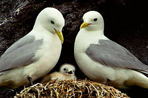 Kittiwake pair with chick. (Rissa tridactyla) St Lawrence Gulf, Canada. - Louis Gagnon