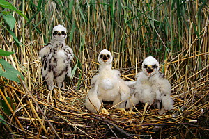 Marsh harrier (Circus aeruginosus) chicks in the nest Poland Kozienicki NP - Artur Tabor