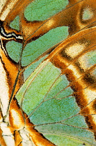 Close up of wing pattern of Malachite butterfly (Siproeta stelenes)  -  Steven David Miller