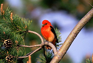 Scarlet tanager male in breeding plumage (Piranga olivacea) Long Island, USA  -  Tom Vezo