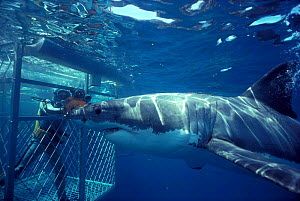 Great white shark with diver in cage. (C carcharias) Australia Carcharodon Model released.  -  Jeff Rotman