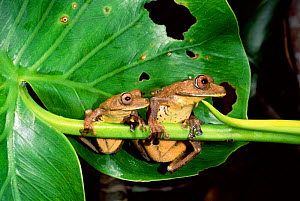 Map tree frogs (Hyla geographica) Yasuni NP, Ecuador, Amazonia - Pete Oxford