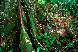 Buttress roots of Ficus tree, Yasuni NP, Amazon rainforest, Ecuador, South America  -  Pete Oxford