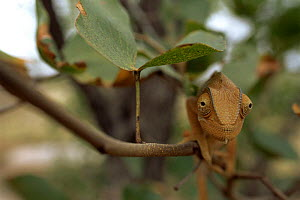Flap necked chameleon (Chamaeleo dilepis) under leaf on twig in Mopane bush, Kruger NP, South Africa - Ron O'Connor