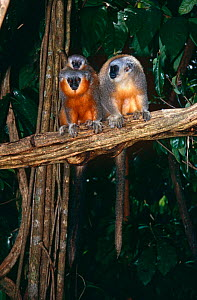 Dusky titi monkey (Callicebus moloch) pair with young, Amazonia, South America  -  JIM CLARE