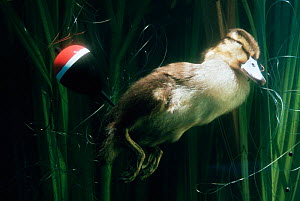 Mallard duckling {Anas platyrhynchos} drowned in fishing line.  -  Chris Packham
