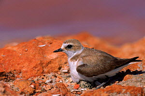 Kentish Plover female on nest with egg visible, Spain, Europe  -  Jose B. Ruiz