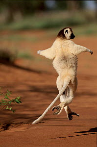 Verreaux's sifaka running, Madagascar.  Berenty Private Reserve.  -  Pete Oxford