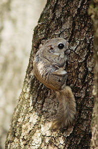 Siberian flying squirrel (Pteromys volans) on tree trunk, Ussuriland, South Primorskiy, Far East Russia - Yuri Shibnev