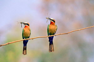 White fronted bee eaters with insects in beak (Merops bullockoides) Okavango, Botswana - Pete Oxford