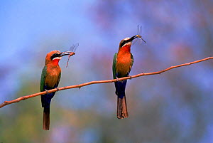 White fronted bee eaters with insects, Botswana, Okavango Delta - Pete Oxford