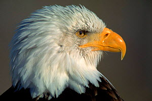 American bald eagle head portrait  -  Jose Schell