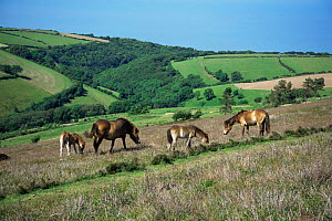 Exmoor ponies, mares and foals,  grazing {Equus caballus} July, England, UK  -  Mike Wilkes