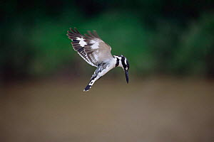 Pied Kingfisher hovering {Ceryle rudis} South Africa - Ron O'Connor