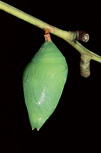 Morph butterfly chrysalis, Ecuadorian Amazon. Sequence 2 of 2  -  Pete Oxford