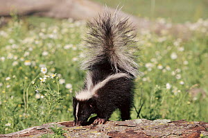 Striped skunk, Minnesota, USA. - Lynn M Stone
