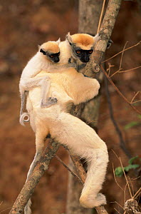Golden crowned sifaka mother carrying young, Madagascar. Endangered. Andrano-tsimaty Village near Daraina  -  Pete Oxford
