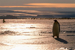 Emperor penguin walking over ice at sunset, Australian Antarctic Territory, Auster rookery - Pete Oxford