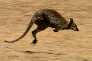 Red necked wallaby hopping, Tasmania, Australia  -  Pete Oxford