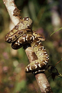 Madagascan boa wrapped round on branch, Mantadia NP, Madagascar - Nick Garbutt
