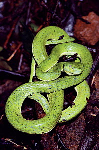 Palm viper on tropical dry forest floor, Guanacaste, Costa Rica  -  TIM MARTIN