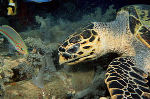 Hawksbill turtle  eating soft coral, Red Sea - Brent Hedges