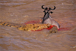 Nile crocodile attacking Wildebeest crossing River Mara, Kenya, Africa  -  Peter Blackwell