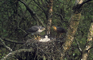 Sparrowhawk {Accipiter nisus} pair at nest with chicks, UK  -  Colin Preston