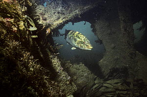 Ballan wrasse {Labrus bergylta} in ship wreck colonised by seaweeds  UK  -  Alan James