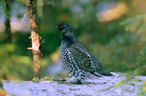 Siberian spruce grouse male {Falcipennis falcipennis} on ground Far East Russia Ussuriland South Primorsky Region  -  Yuri Shibnev