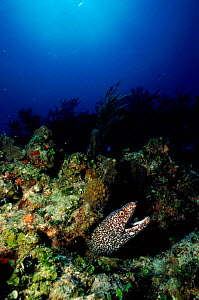Spotted moray eel {Gymnothorax moringua} Caribbean.  -  Jurgen Freund