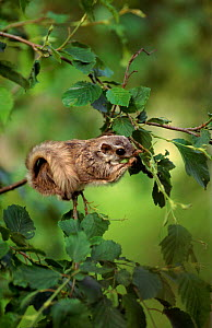 Siberian flying squirrel feeds in alder tree.  Nurmo, Finland. - Benjam Pontinen