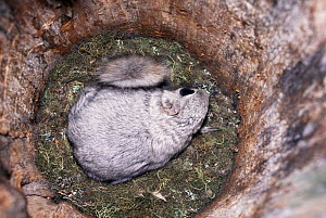 Siberian flying squirrel in nest {Pteromys volans} Finland. - Benjam Pontinen