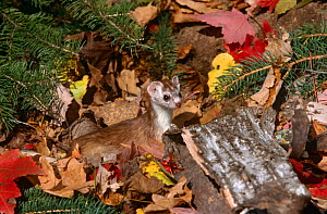 Stoat / Sort tailed weasel {Mustela erminea} amongst autumn leaves, captive, USA  -  Lynn M Stone