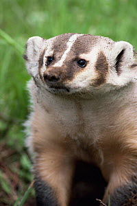 American badger portrait {Taxidea taxus} USA. Captive  -  Mary McDonald