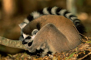 Ring-tailed lemur on forest floor {Lemur catta} Berenty Private Reserve Madagascar  -  Pete Oxford
