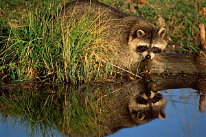 Raccoon by river {Procyon lotor} North America.  -  Mary McDonald